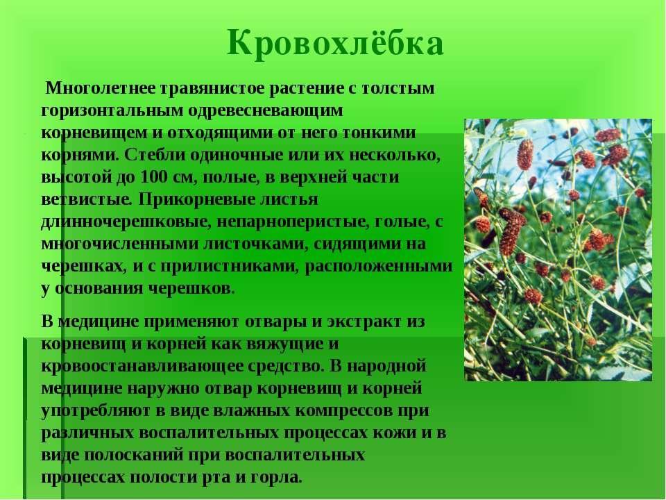 Кровохлёбка Многолетнее травянистое растение с толстым горизонтальным одревес...