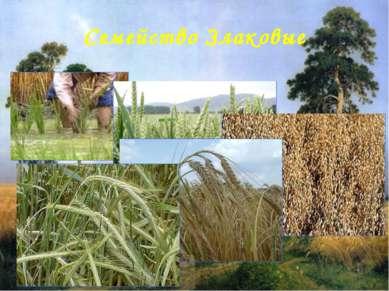 Семейство Злаковые К семейству Злаковые принадлежит большое число растений, к...