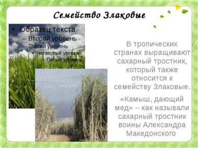 Семейство Злаковые В тропических странах выращивают сахарный тростник, которы...
