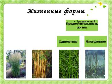 Жизненные формы Большинство злаков – травы. Однако стебли тропических бамбуко...