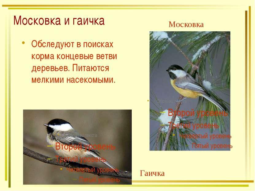 Московка и гаичка Обследуют в поисках корма концевые ветви деревьев. Питаются...