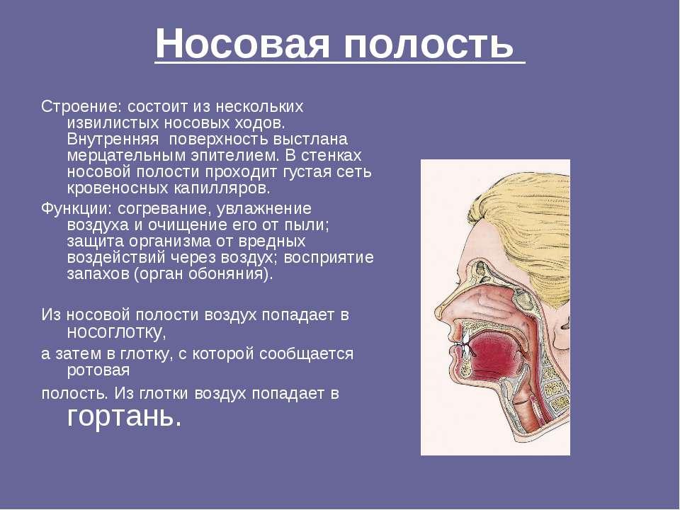 Носовая полость Строение: состоит из нескольких извилистых носовых ходов. Вну...
