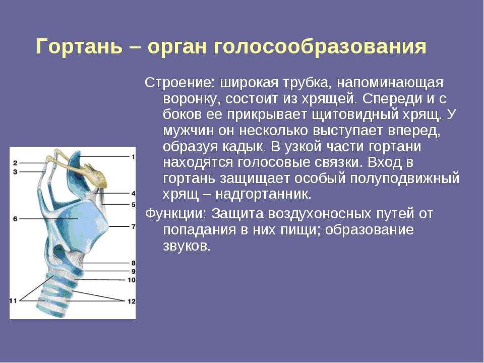 Гортань – орган голосообразования Строение: широкая трубка, напоминающая воро...