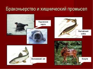 Браконьерство и хищнический промысел Волховский сиг Ладожская нерпа Балтийски...