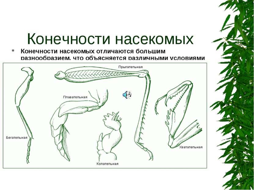 Конечности насекомых Конечности насекомых отличаются большим разнообразием, ч...