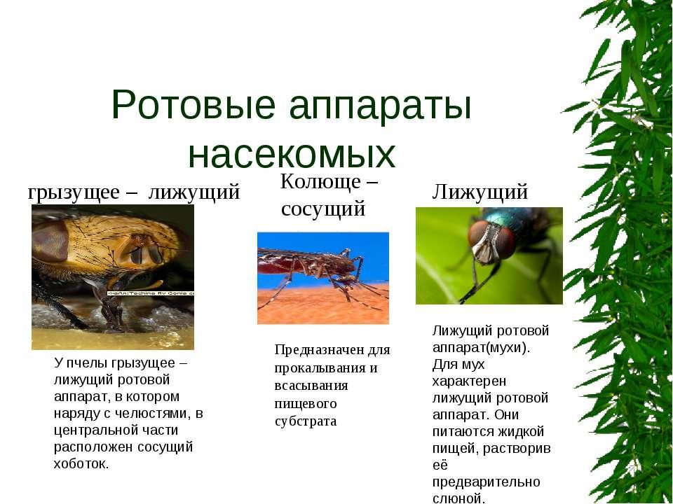 Ротовые аппараты насекомых грызущее – лижущий У пчелы грызущее – лижущий рото...