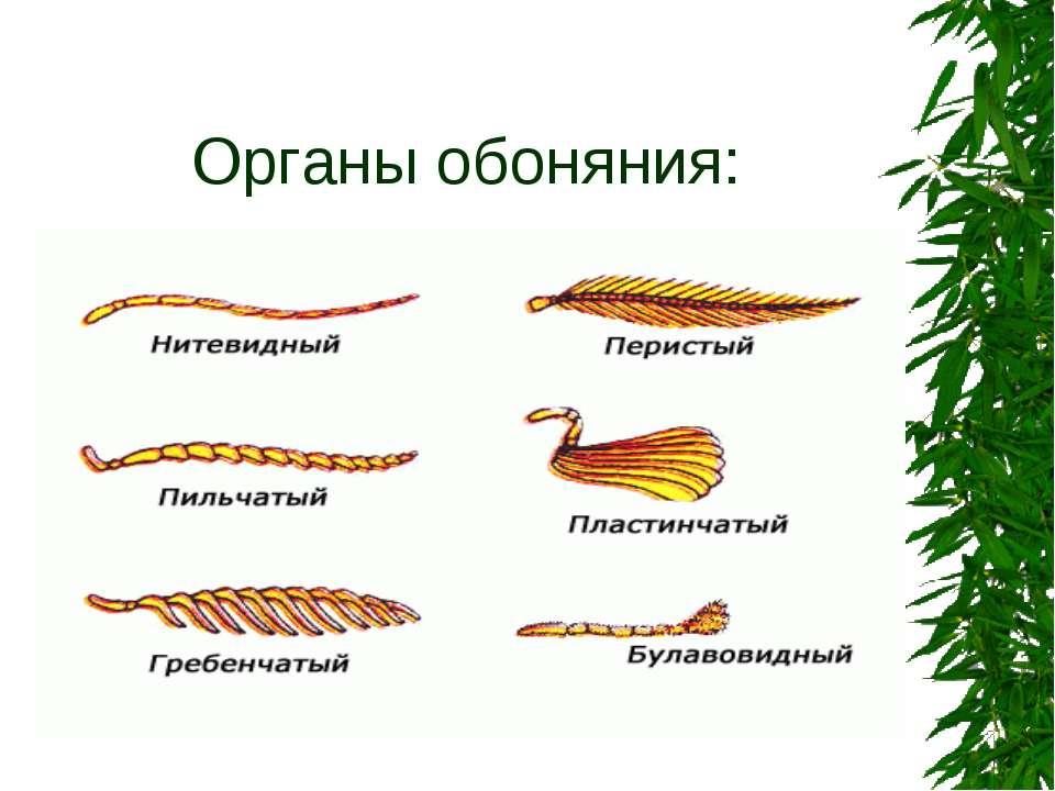 Органы обоняния: