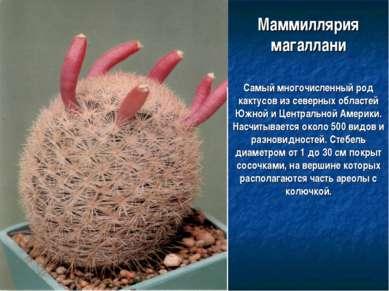 Маммиллярия магаллани Самый многочисленный род кактусов из северных областей ...