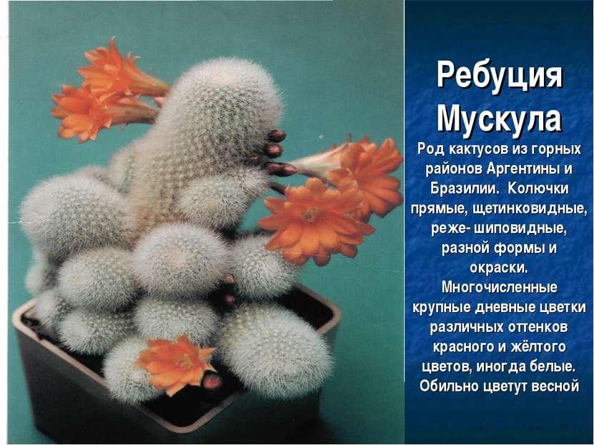 Ребуция Мускула Род кактусов из горных районов Аргентины и Бразилии. Колючки ...