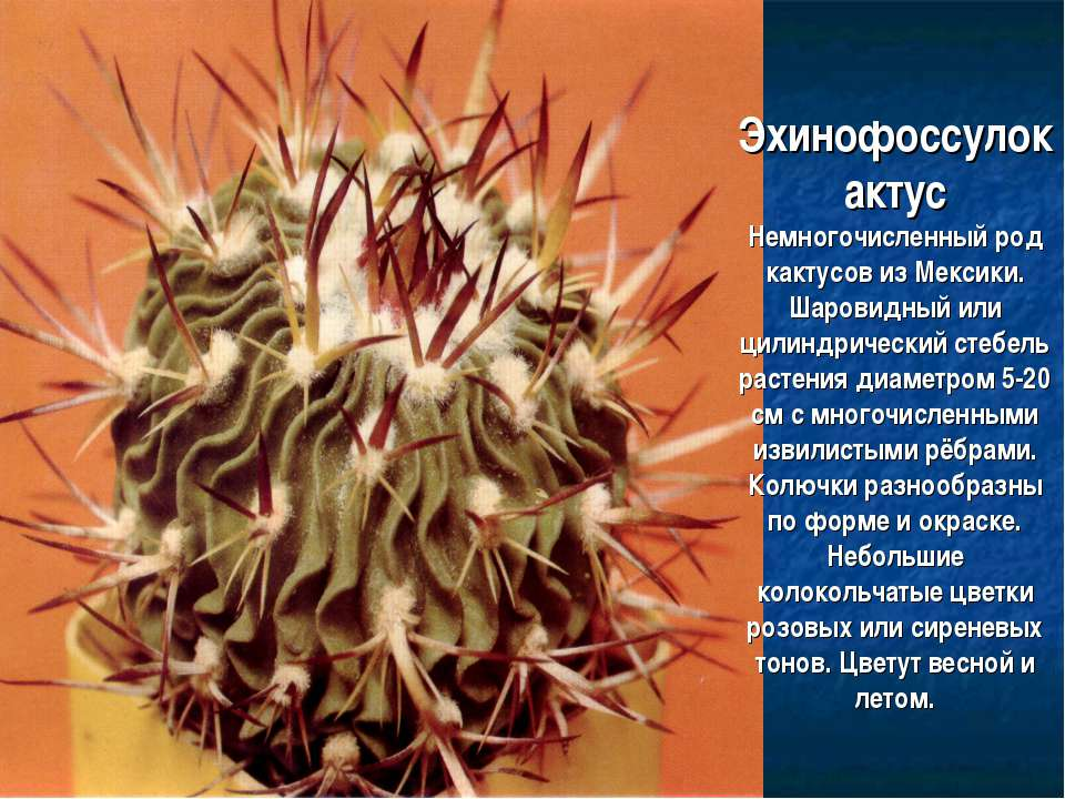 Эхинофоссулокактус Немногочисленный род кактусов из Мексики. Шаровидный или ц...