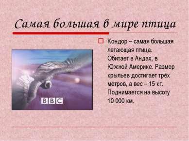 Самая большая в мире птица Кондор – самая большая летающая птица. Обитает в А...
