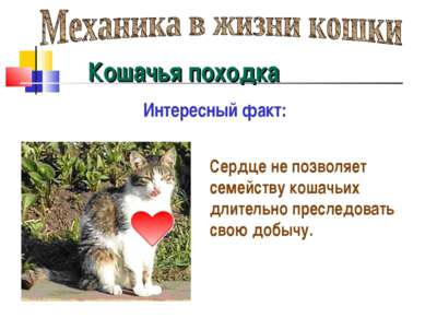 Кошачья походка Сердце не позволяет семейству кошачьих длительно преследовать...