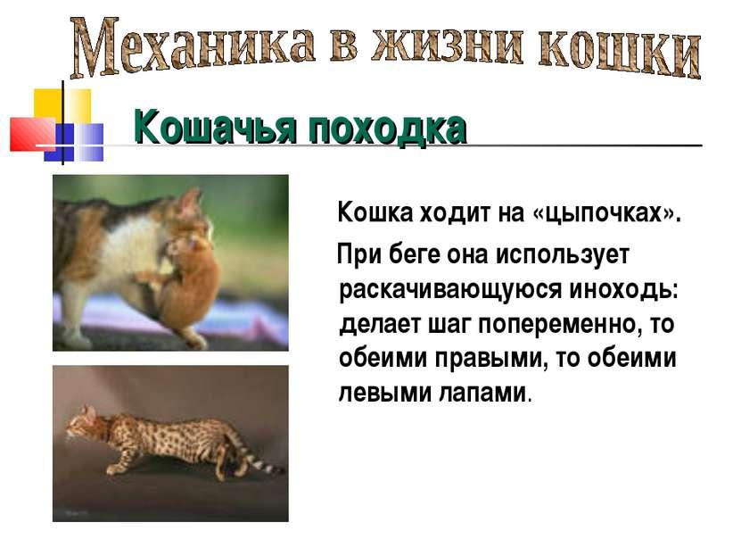 Кошачья походка Кошка ходит на «цыпочках». При беге она использует раскачиваю...