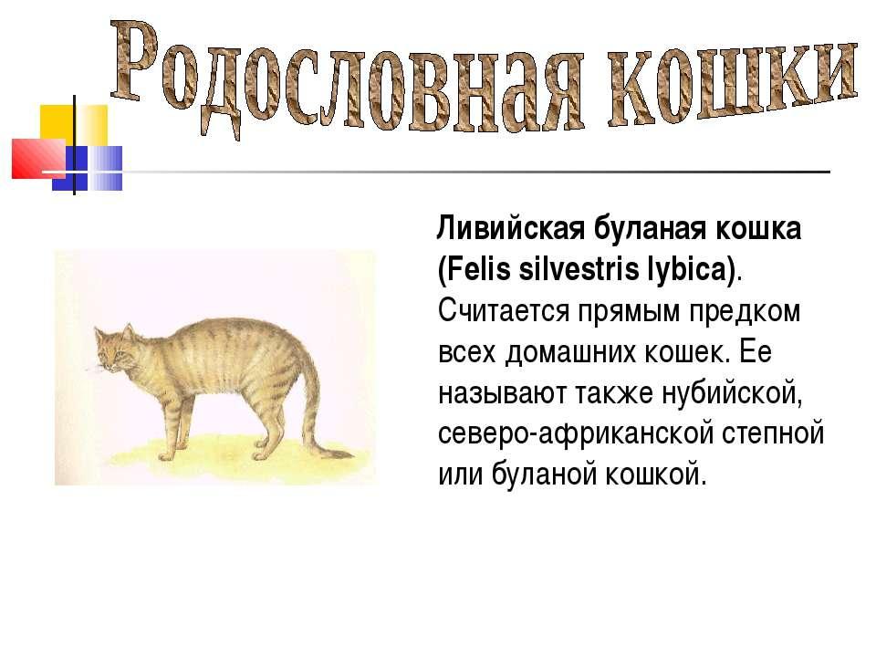 Ливийская буланая кошка (Felis silvestris lybica). Считается прямым предком в...
