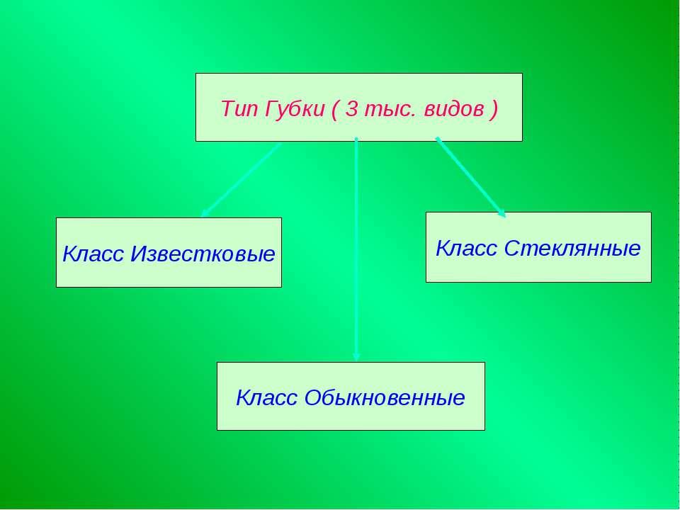Тип Губки ( 3 тыс. видов ) Класс Известковые Класс Обыкновенные Класс Стеклянные
