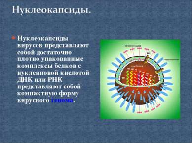 Нуклеокапсиды вирусов представляют собой достаточно плотно упакованные компле...