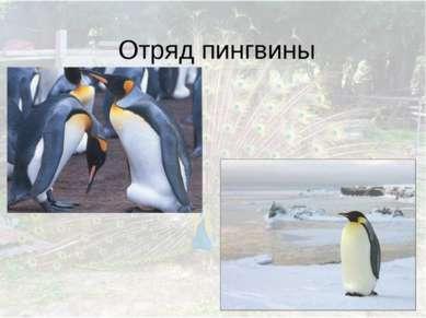 Отряд пингвины
