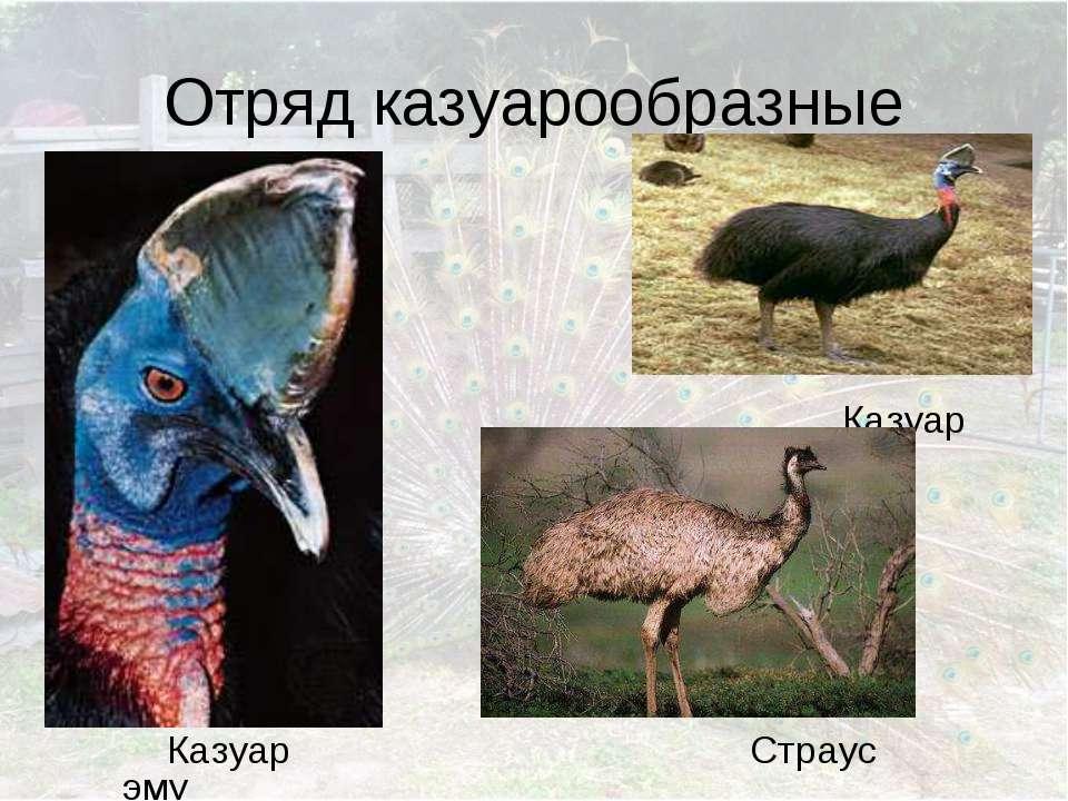 Отряд казуарообразные Казуар Страус эму Казуар