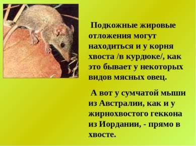 Подкожные жировые отложения могут находиться и у корня хвоста /в курдюке/, ка...