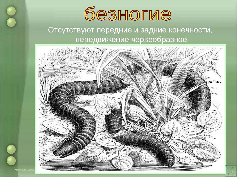 Отсутствуют передние и задние конечности, передвижение червеобразное