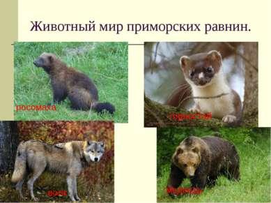 Животный мир приморских равнин. росомаха горностай волк медведь