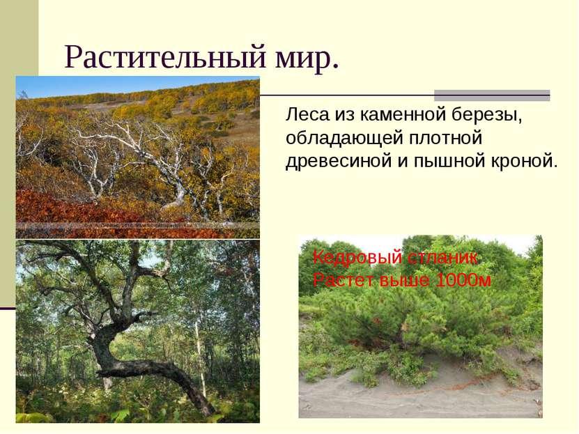 Растительный мир. Леса из каменной березы, обладающей плотной древесиной и пы...