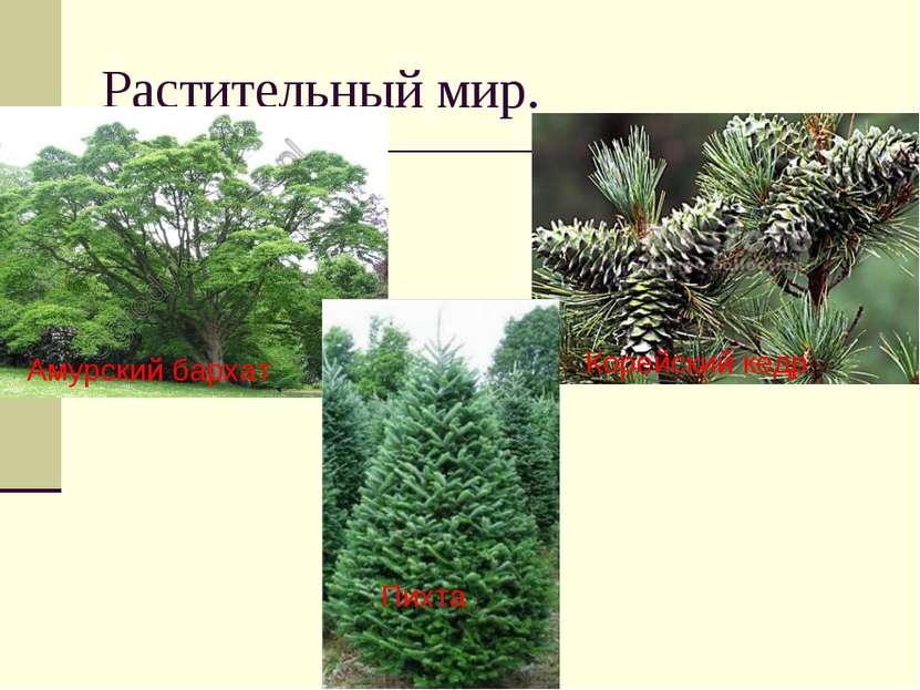 Растительный мир. Амурский бархат Корейский кедр Пихта
