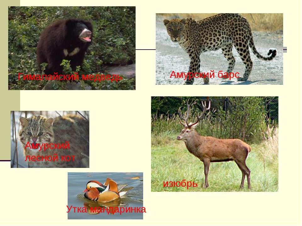 Гималайский медведь Амурский лесной кот Амурский барс изюбрь Утка мандаринка