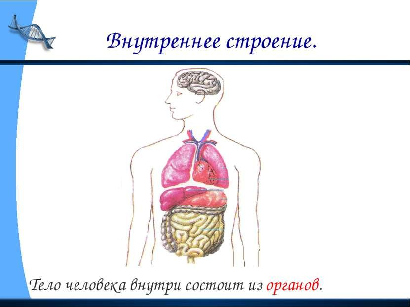 Внутреннее строение. Тело человека внутри состоит из органов.