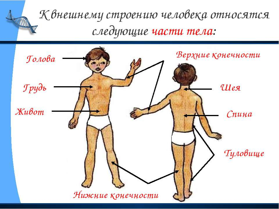 К внешнему строению человека относятся следующие части тела: Голова Туловище ...