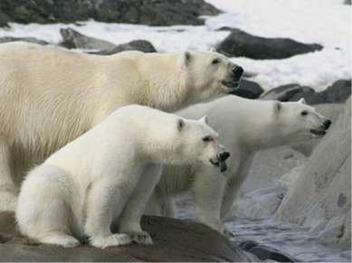 Полярному медведю (Ursus maritimus) угрожает глобальное потепление. Шансы выж...