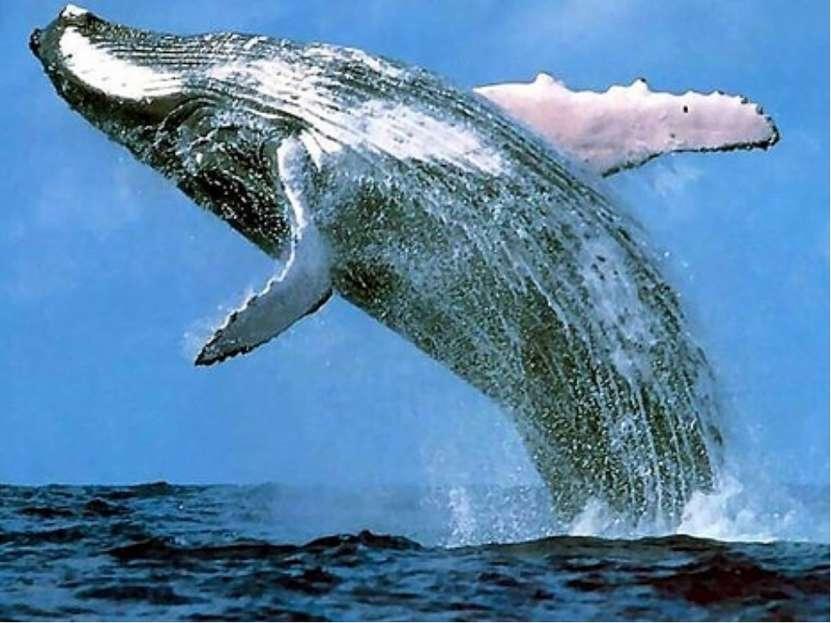 Голубой кит (Balaenoptera musculus) является самым большим животным на планет...