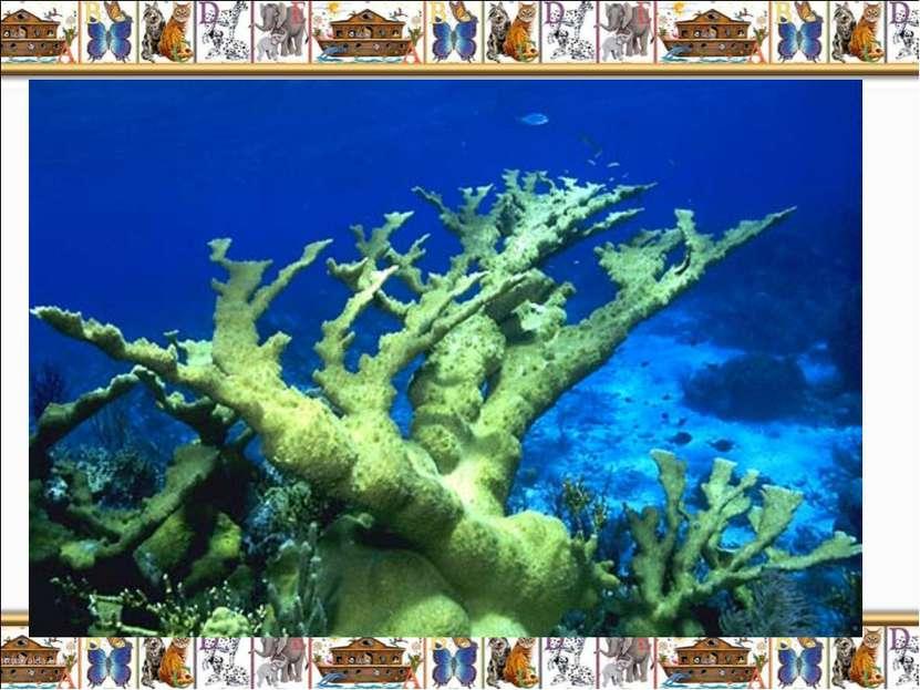 Лосерогие и оленерогие кораллы (Acropora palmata and A. cervicornis) – ещё од...