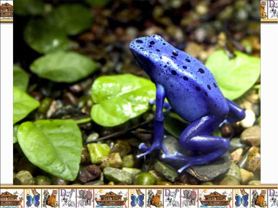 Лягушка голубой древолаз (Dendrobates azureus) является одним из самых удивит...