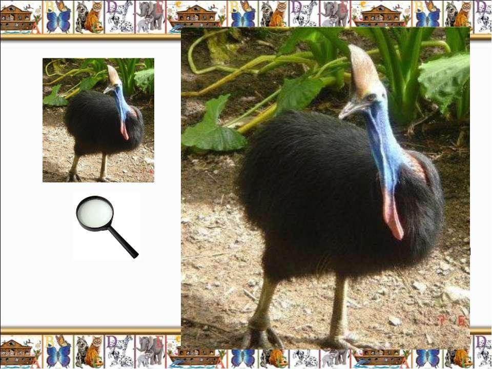Казуар (Casuarius casuarius) – древняя бескрылая птица Австралии, питаясь фру...