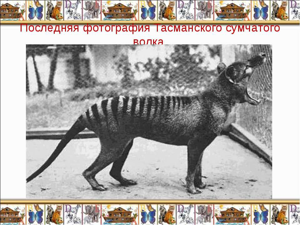 Последняя фотография Тасманского сумчатого волка