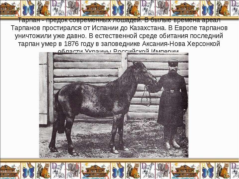 Тарпан - предок современных лошадей. В былые времена ареал Тарпанов простирал...