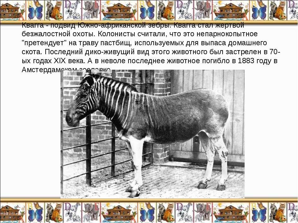 Квагга - подвид Южно-африканской зебры. Квагга стал жертвой безжалостной охот...