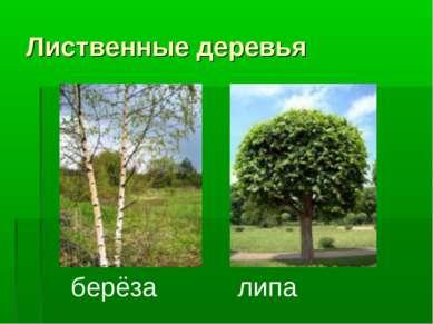 Лиственные деревья берёза липа