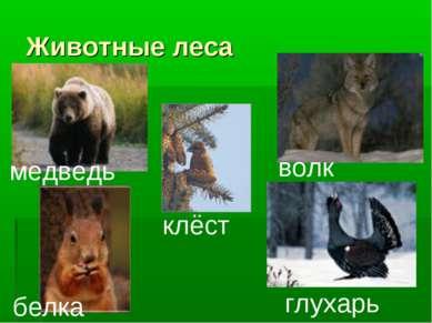 Животные леса медведь белка клёст волк глухарь