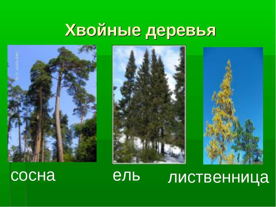 Хвойные деревья сосна ель лиственница