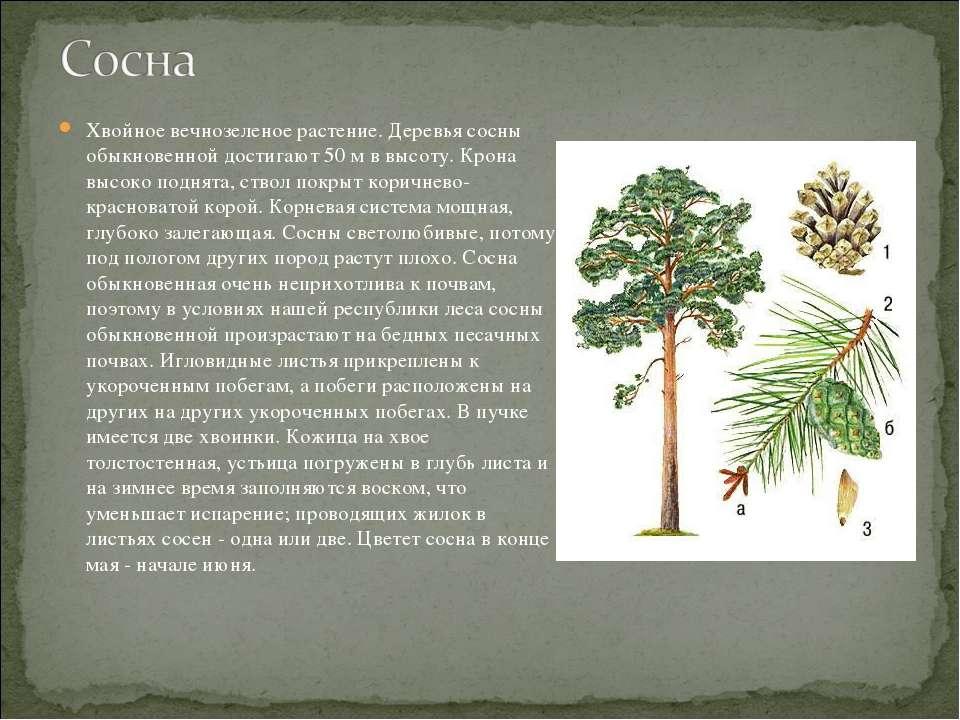 Хвойное вечнозеленое растение. Деревья сосны обыкновенной достигают 50 м в вы...