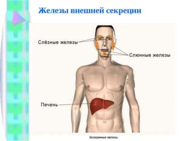 Железы внешней секреции