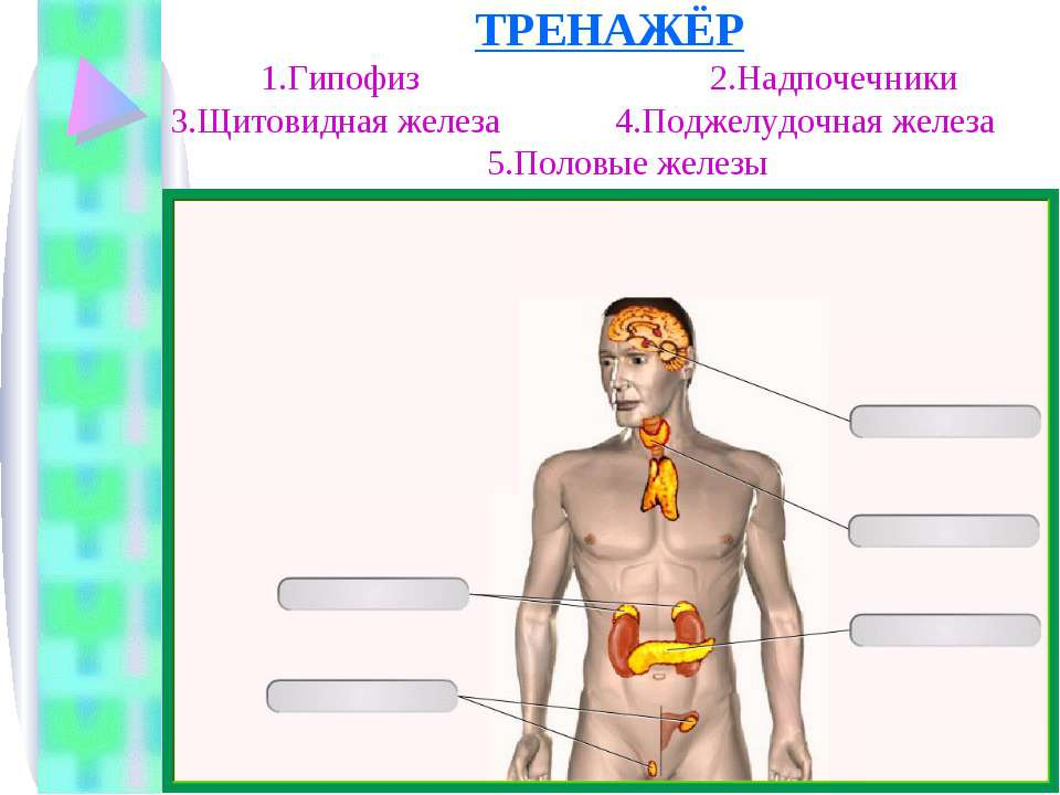 ТРЕНАЖЁР 1.Гипофиз 2.Надпочечники 3.Щитовидная железа 4.Поджелудочная железа ...