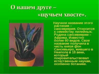 О нашем друге – «щучьем хвосте». Научное название этого растения – сансевиери...
