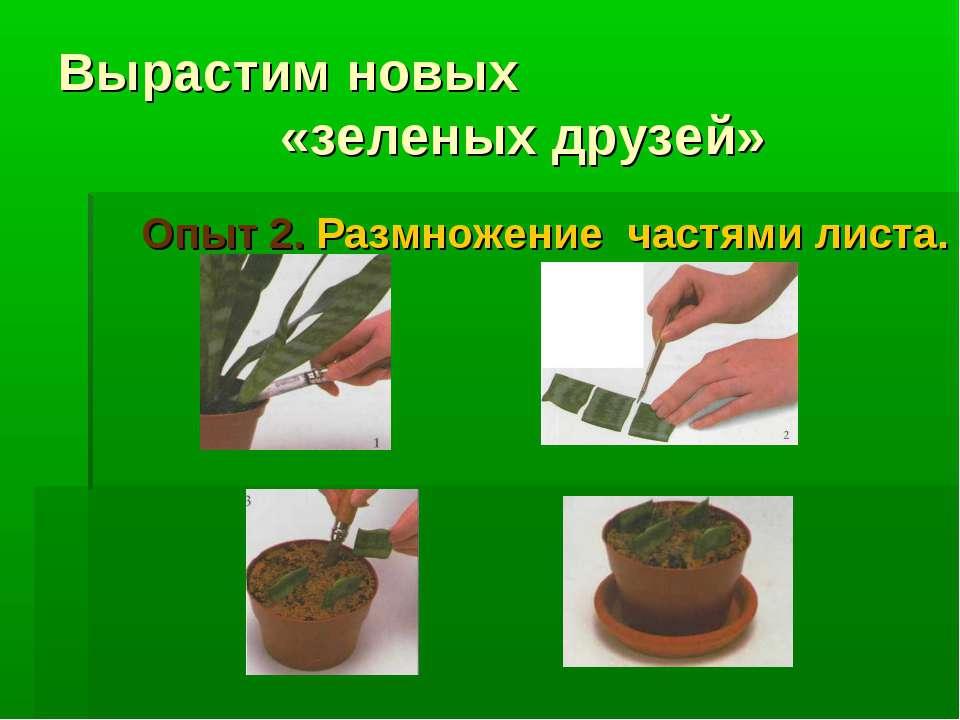 Вырастим новых «зеленых друзей» Опыт 2. Размножение частями листа.