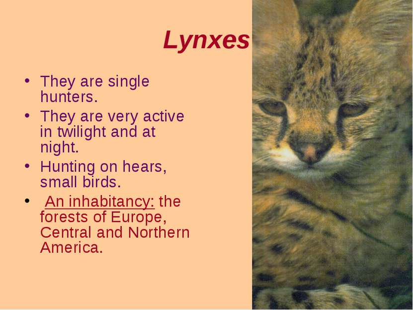 Lynxes They are single hunters. They are very active in twilight and at night...