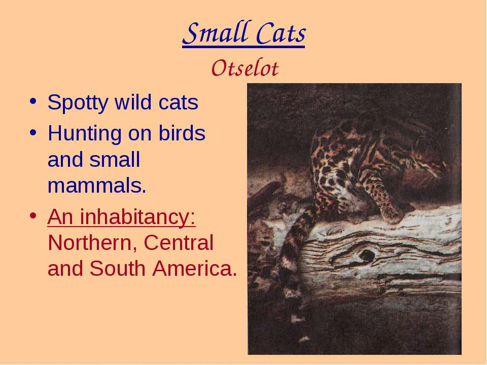 Small Cats Otselot Spotty wild cats Hunting on birds and small mammals. An in...