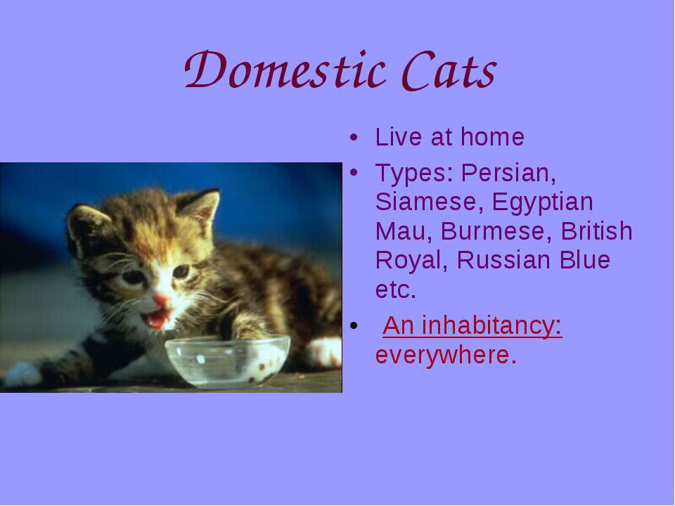 Domestic Cats Live at home Types: Persian, Siamese, Egyptian Mau, Burmese, Br...