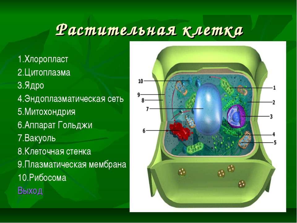 Растительная клетка 1.Хлоропласт 2.Цитоплазма 3.Ядро 4.Эндоплазматическая сет...